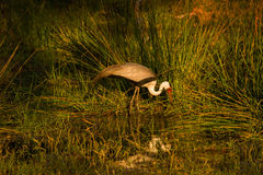 Wattled Crane feeding in a small pool at sunset royalty free stock images