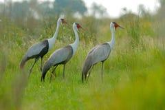 Wattled crane, Grus carunculata, with red head, wildlife from Okavango delta, Moremi, Botswana. Big bird in the nature habitat, gr. Een meadow. Wildlife Africa royalty free stock photography