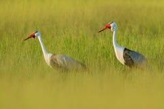 Wattled crane, Grus carunculata, with red head, wildlife from Okavango delta, Moremi, Botswana. Big bird in the nature habitat, gr. Een meadow. Wildlife Africa stock photo