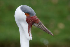 Wattled crane, Grus carunculatus Royalty Free Stock Images
