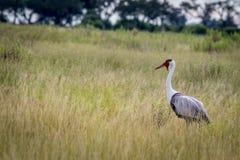 Wattled crane in high grass. Stock Photo