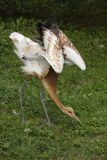 Wattled crane juvenive Stock Photo