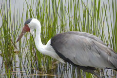 Wattled Crane in Natural Wetlands Habitat. Photo of Wattled Crane (Bugeranus carunculatus) wading through natural wetlands habitat at International Crane stock photos