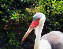 Wattled Crane Profile Royalty Free Stock Photo