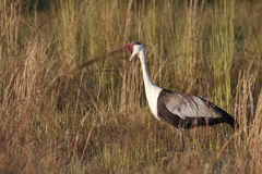 Wattled Crane in the Reeds Royalty Free Stock Image