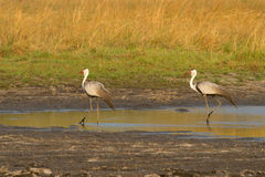 Wattled cranes Royalty Free Stock Image