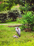 Wattled Cranes Mother and Baby Royalty Free Stock Image