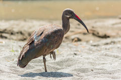 Wattled Ibis Stock Photography