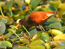 Wattled Jacana (Jacana jacana) Royalty Free Stock Photography