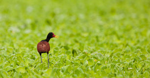 Wattled Jacana Stock Photos