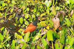 Wattled Jacana bird royalty free stock photo