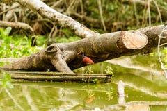 Wattled Jacana Bird In The Wild Stock Photo