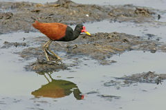 Wattled jacana,  Jacana jacana Royalty Free Stock Photography