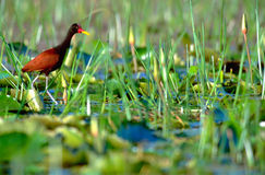 Wattled Jacana in Trinidad & Tobago stock photo