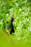 Wattled Jacana, wader bird from Trinidad and Tobago. Bird with long leg in the water grass. Jacana in habitat, green vegetation. royalty free stock photo