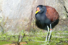Wattled Jacana on water vegetation Stock Images