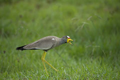 Wattled lapwing. An adult wattled lapwing causes a diversion from its newly hatched young Royalty Free Stock Photos