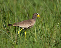 Wattled Lapwing in grass Royalty Free Stock Photos