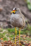 Wattled plover (Lapwing), Vanillus senegallus, walking along a verge Royalty Free Stock Images