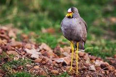 Wattled plover (Lapwing), Vanillus senegallus, walking along a verge Royalty Free Stock Image