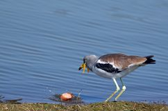 Wattled plover softening food Stock Images