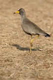 Wattled plover, Vanellus senegallus Royalty Free Stock Photography