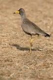 Wattled plover, Vanellus senegallus Royalty Free Stock Photography