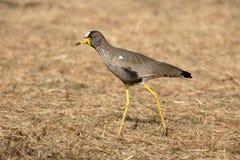 Wattled plover, Vanellus senegallus Royalty Free Stock Photo