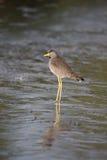 Wattled plover, Vanellus senegallus Royalty Free Stock Images