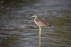 Wattled plover, Vanellus senegallus Stock Photography