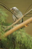 Wattled starling Stock Photo