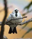 Wattled Starling Stock Photography