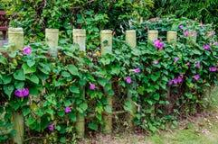 Wattled wall Stock Image