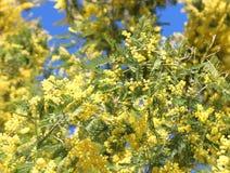 Желтые вызванные цветки Мимозой дерева акации также вызвали Wattles стоковое изображение rf