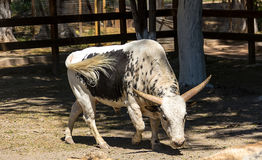 Wattsi bull with a white tail walks through. The territory Royalty Free Stock Photos