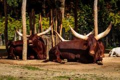 Watusi στο ζωολογικό κήπο Planckendael Στοκ Εικόνες