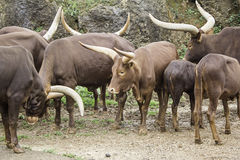 Watusi животных Стоковые Изображения