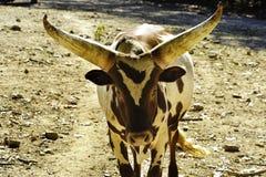 watusi скотин стоковая фотография rf