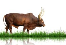 Watusi. With green grass isolated Stock Images