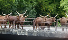 Watusi - Bos Taurus Herd. Walking Across Bridge stock photography