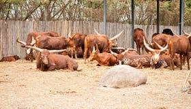 Watusi Bull Fotos de archivo libres de regalías