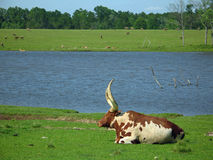Watusi Bull Royalty Free Stock Photos