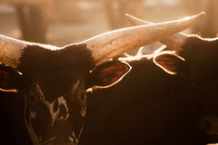 Watusi bull - bos taurus Royalty Free Stock Photography