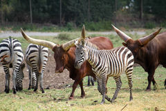 Watusi Bull et zèbre Images stock