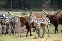 Watusi Bull u. Zebras Stockbilder