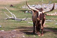 Watusi cattle. A Watusi cow with it's big horns Stock Image