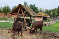 Watusi cattle - Africa Stock Image