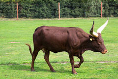 Watusi cattle - Africa Stock Photography