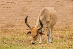 Watusi cattle Stock Photos