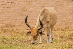 Watusi cattle Stock Photos
